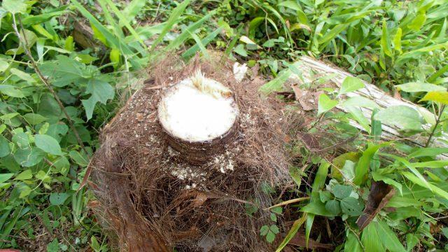 シュロの木の切断面