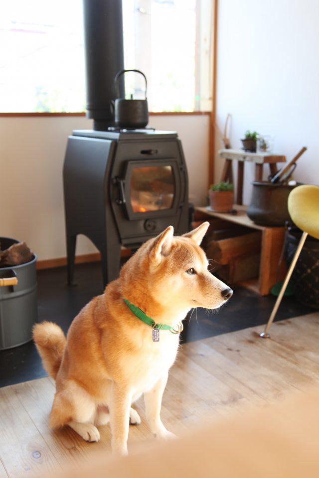 薪ストーブで暖まる柴犬のカイ君