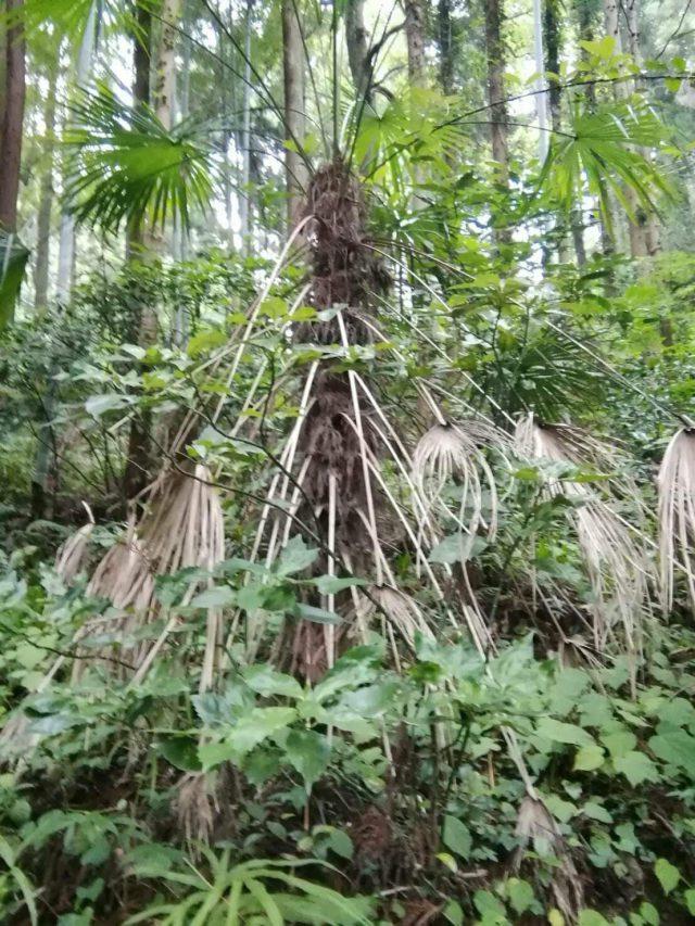 日の出町の森で見つけたシュロの木(ワジュロ)
