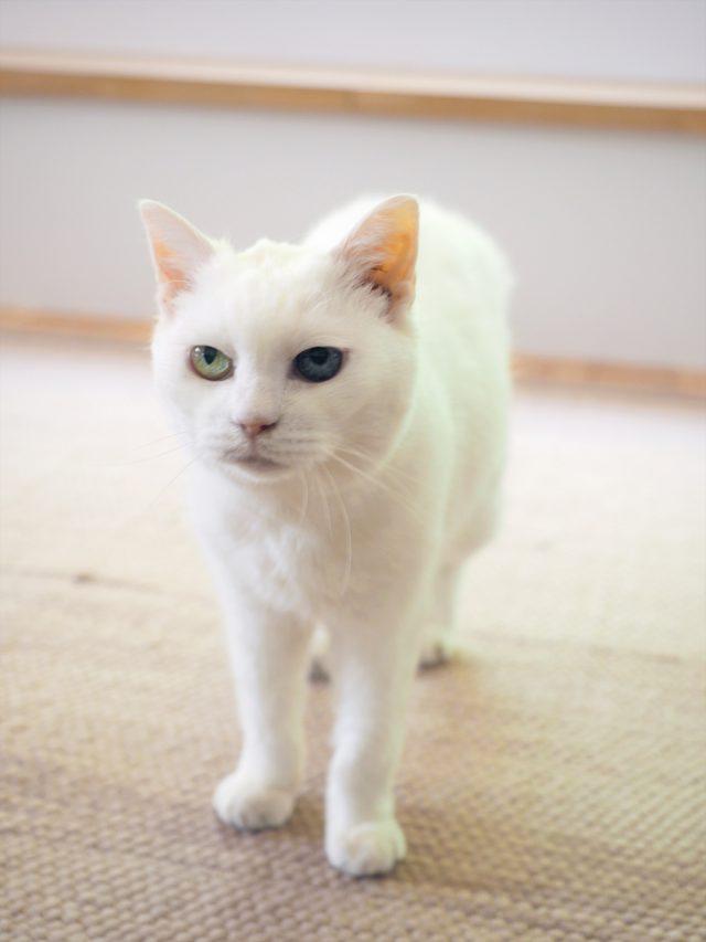 オッドアイが可愛い猫のマロちゃん。