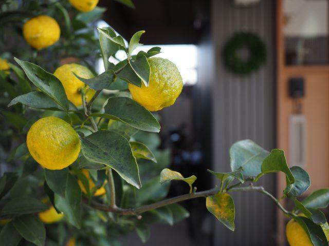 毎年豊作の柚子