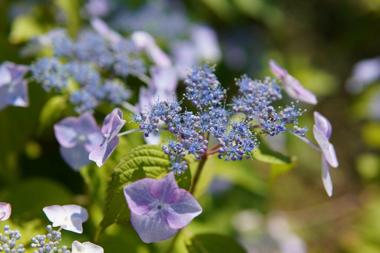 撮影は6月初旬。可愛らしい紫陽花がお庭を彩る。