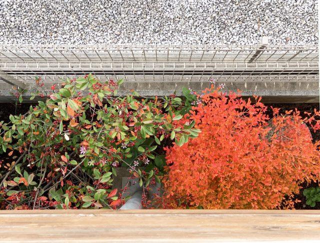 秋にはドウダンツツジが鮮やかに紅葉。