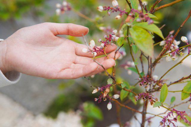 ブルーベリーの花。